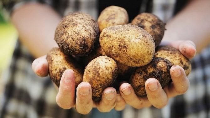 Cena brambor ani cukru by neměla růst, letos bude skvělá úroda