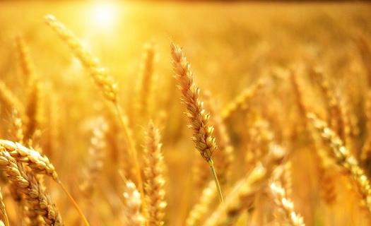 Rostlinná a živočišná výroba - pěstování obilovin, chov prasat a skotu