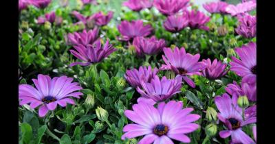 Zahradnictví, prodej řezaných květin, okrasné rostliny Brno