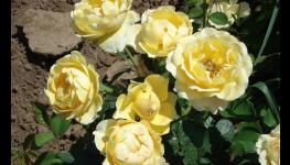 Prodej ovocných stromků a především kvalitně pěstovaných meruněk různých odrůd