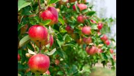 Švestky, slivoně ovocné stromky, renklody, slíva - prodej