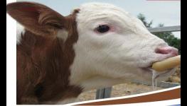 Mléčné krmné směsi pro telata, mléčná výživa telat, prodej, výroba TELMILK