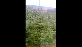 Velkoobchodní prodej vánočních stromků ze šumavských plantáží - jedle, borovice, smrky