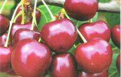 Ovocné stromy jabloně hrušně třešně višně švestky meruňky