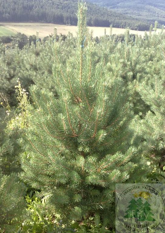 Vánoční stromky řezané - široká nabídka - velkoobchod