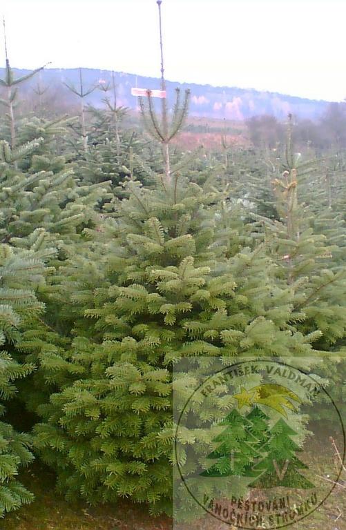 Vánoční stromky velkoobchod - objednávky od 50ti kusů