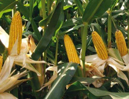 Kukuřice 2018 – informace