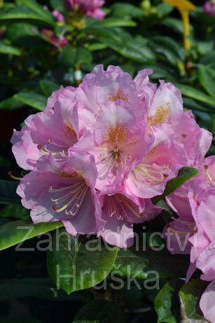 Prodej rhododendron neboli pěnišník