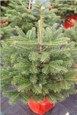 Vánoční stromky – řezané i kontejnerové
