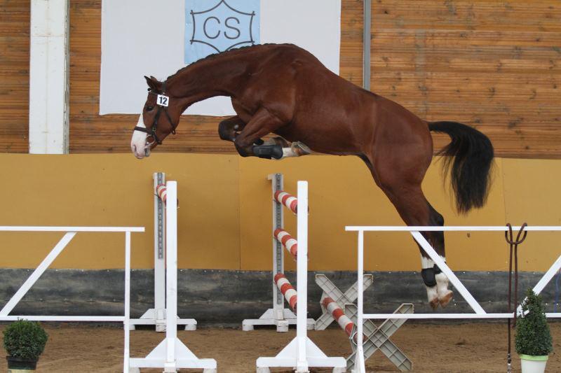 Výcvik koní v parkurovém skákání a drezuře