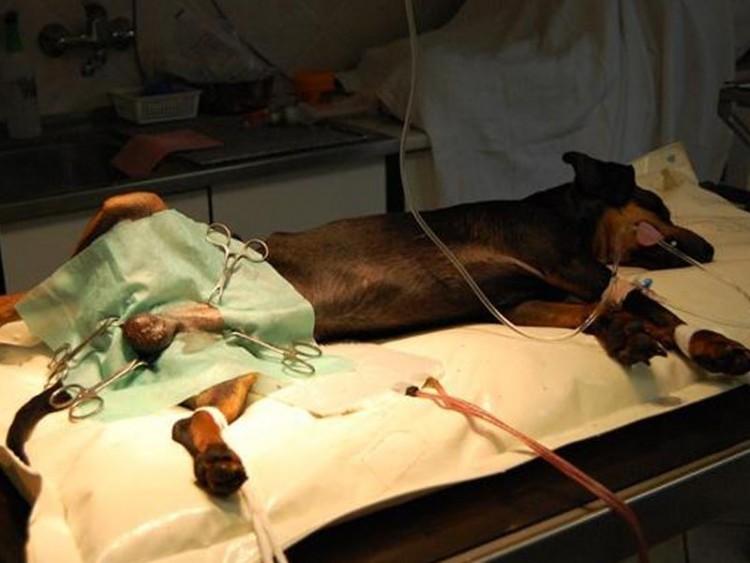 Veterinární ordinace Baudyš-pes při kastraci