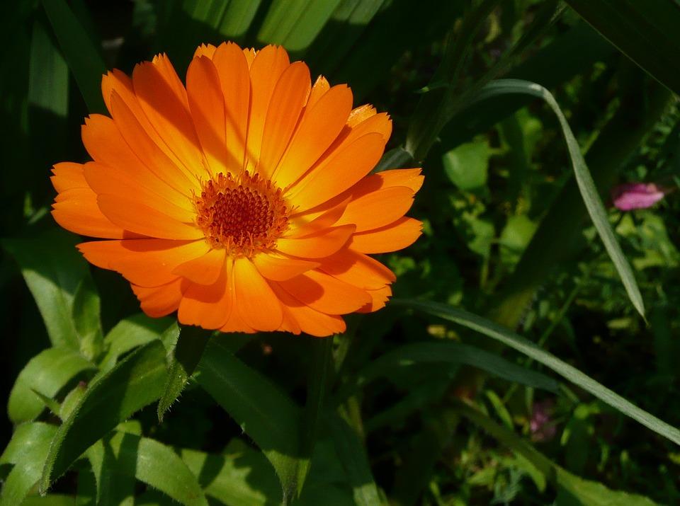 Prodej léčivých bylin, léčivky, Měsíček lékařský, Šlechtění a semenářství plodin
