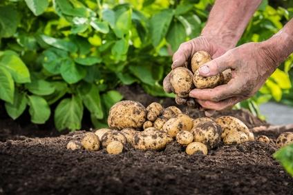 Brambory na uskladnění od soukromého zemědělce, chov telat a skotu