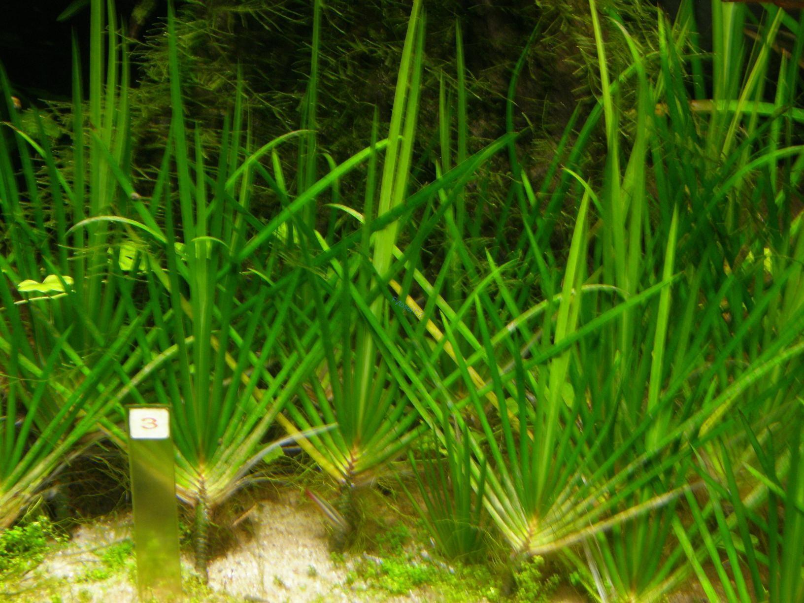 Rostliny do akvária