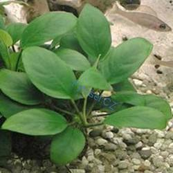Vodní rostliny do akvária