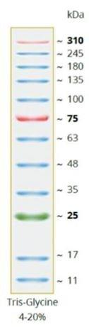 Novinka - Nový CozyXL™ Prestained Protein Ladder –  k přímému použití