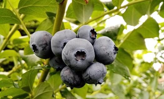 Kanadské borůvky prodej Pardubice – nabízíme rozmanité druhy borůvek