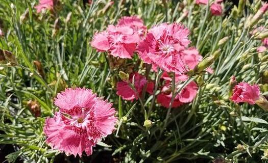 Prodej trvalek a skalniček Pardubice – trvalky jsou krásné a nenáročné od jara do zimy