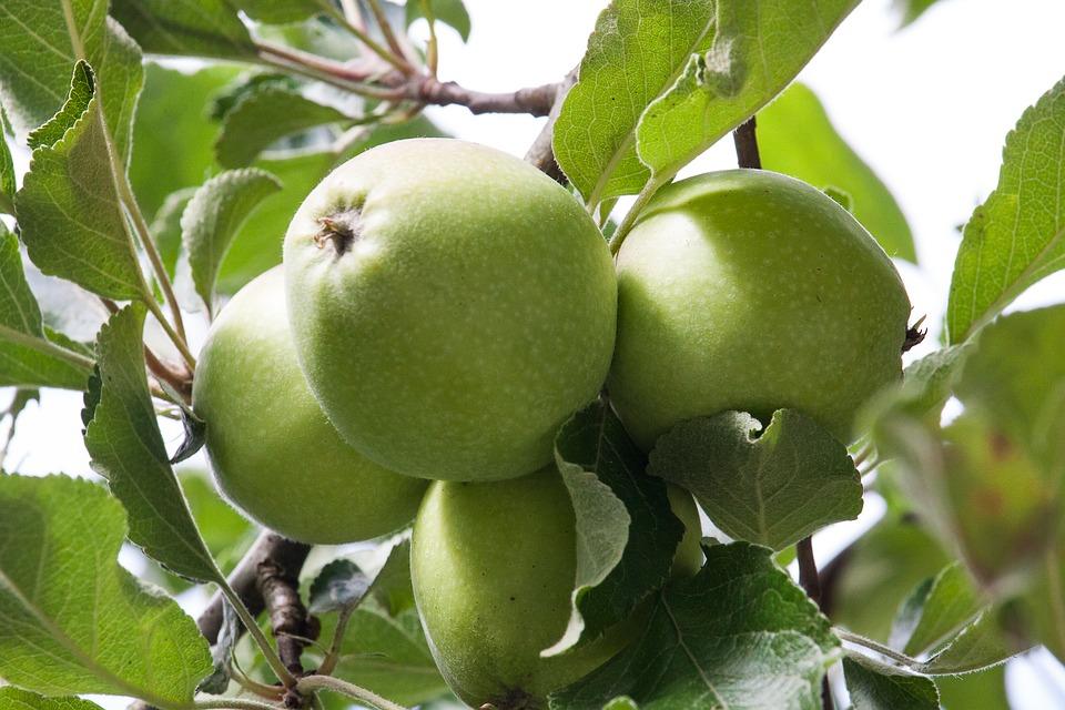 Prodej ovocných stromů a ovoce ze šlechtitelské stanice