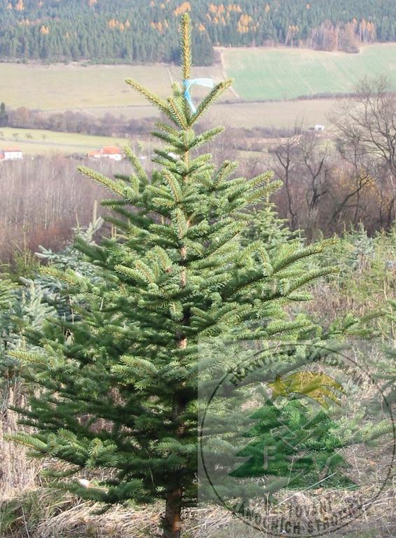 Vánoční stromky na prodej