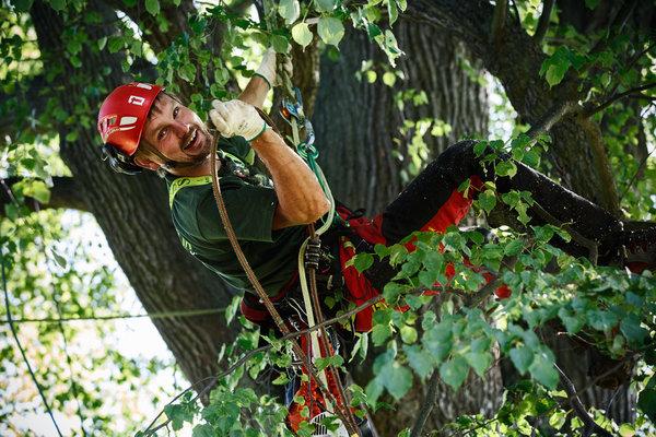 Tvarování korun stromů pomocí tvarovacích řezů