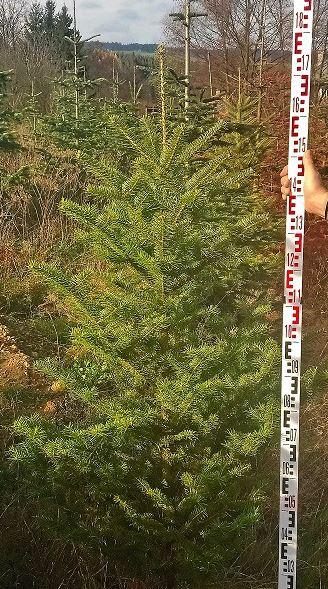 Prodej vánočních stromů rovnou z plantáže