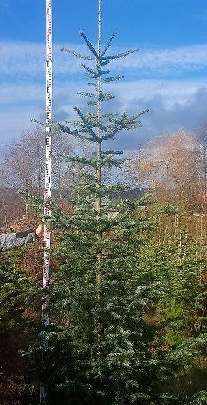 Vánoční stromek přímo z plantáže - kavkazská jedle