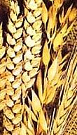 Zemědělské družstvo Kunžak, okres Jindřichův Hradec, pěstování brambor, obilovin, řepky, kukuřice