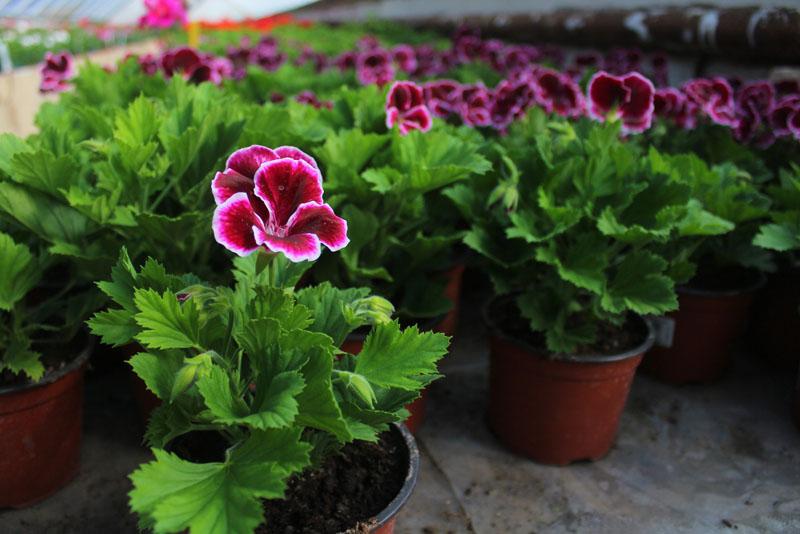 Prodej balkónových květin