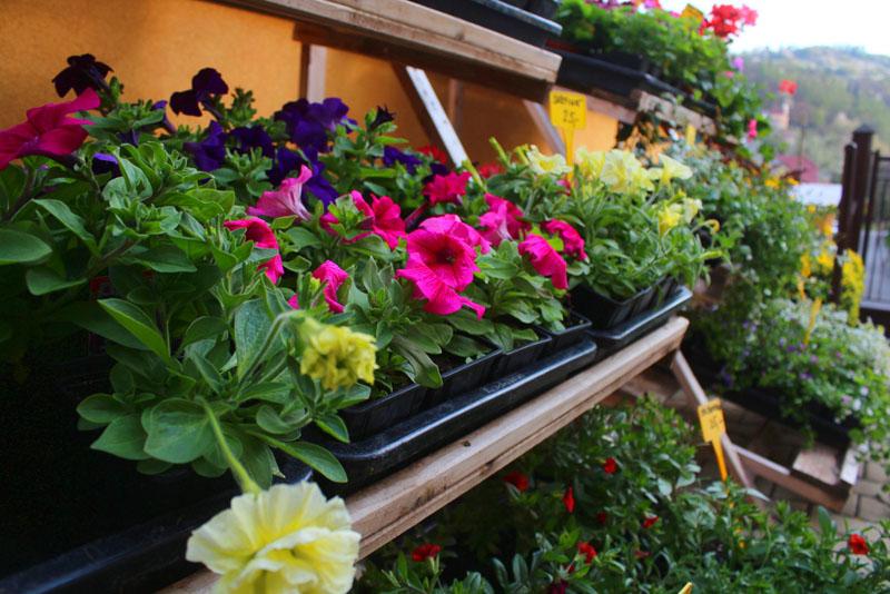 Záhonové květiny - prodej