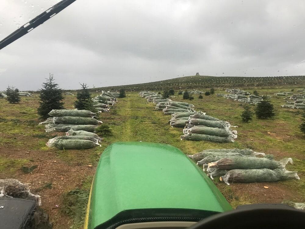 Vánoční stromky Hořice - Vánoční stromky z plantáží
