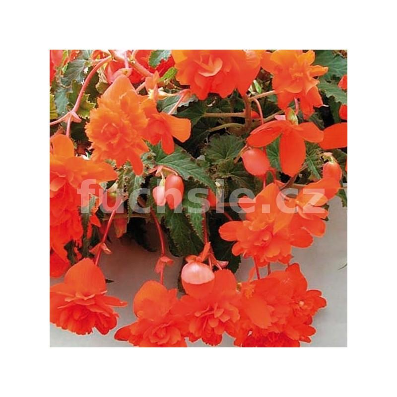 Velkokvěté, převislé i zvonečkové begonie z eshopu