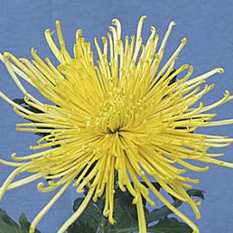 multiflora-mina