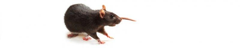 Deratizace – likvidace krtků, potkanů, myší a hryzců