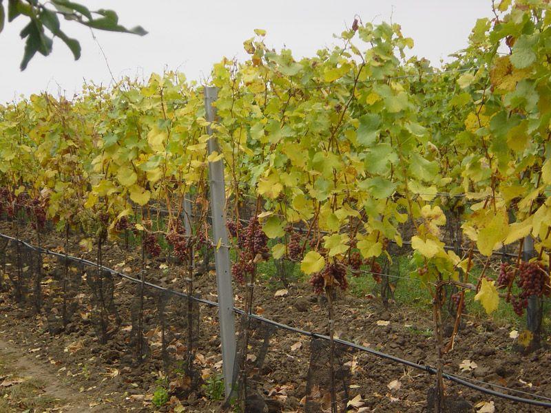 Velkobílovická vína, vinařství Velké Bílovice