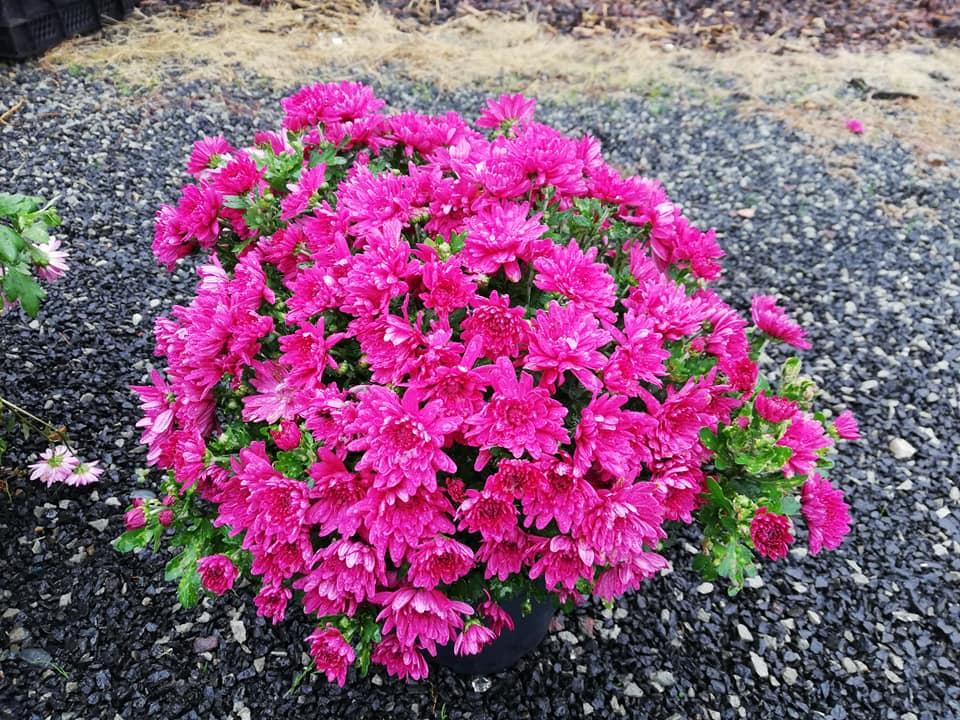 Chryzantémy za skvělé ceny - Zahradnictví Petro Mělník