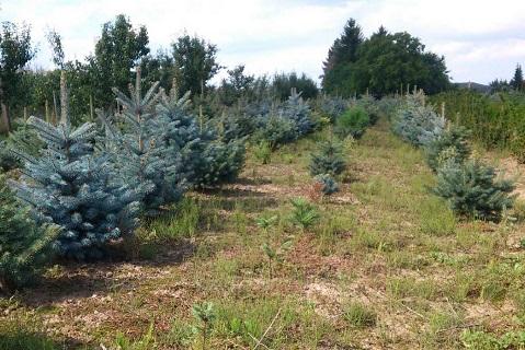 Prodej vánočních stromků - borovice, jedle, smrk, živé vánoční stromečky i v květináči