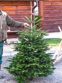 Pořiďte si na Vánoce kavkazskou jedli nebo smrk, ať už čerstvě řezané nebo v kontejneru