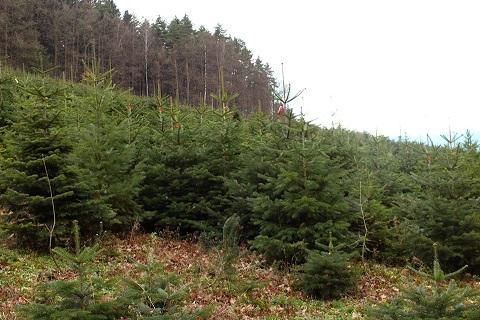 Plantáž vánočních stromků - denně čerstvé - Valmez, Zlín