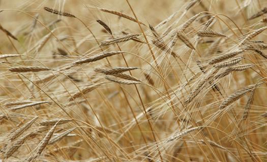 Rostlinná výroba, pěstování zemědělských plodin se zaměřením na obiloviny a řepku