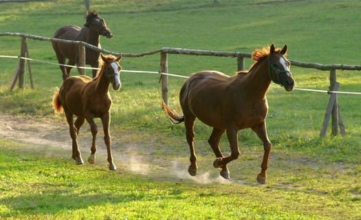 Ubytování na farmě s jezdeckým klubem, chov anglického plnokrevníka, ovcí Suffolk i krav