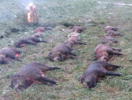 lov divočáků v ČR