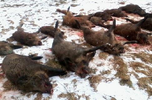 Hon na jeleny, muflony, daňky, kachny, bažanty, divočáky v ČR