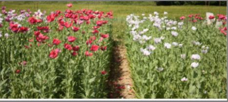 Šlechtění, výzkum a vývoj olejnin, travin, pícnin a pohanky