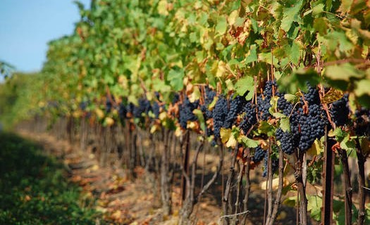 Vinařství, pěstování vinohradu, výroba a prodej vína Čejkovice
