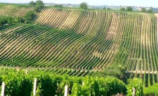 Vinohrad Čejkovice