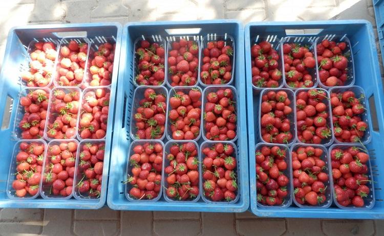 Samosběr jahod a prodej marmelád Brno