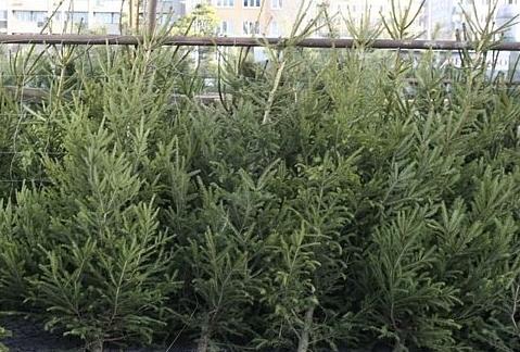 Prodej živých vánočních stromků Holešov
