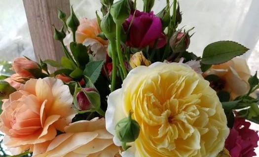 Prodej Anglických růží, zahradnictví ARBO