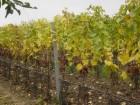 Výroba vín Velké Bílovice